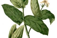 Plant-Illustration-of-Crown-flower-plant