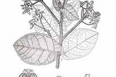 Sketch-of-Crown-flower-plant