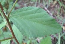 Closer-view-of-Leaf-of-Cuban-jute