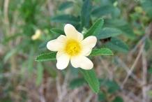 Flower-of-Cuban-jute