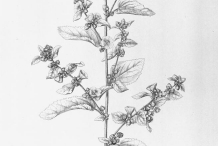 Plant-Illustration-of-Cuban-jute