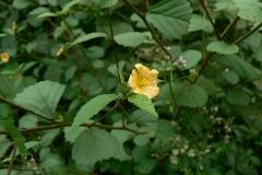 Cuban-jute-plant