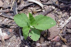 Small-Cuban-jute-plant