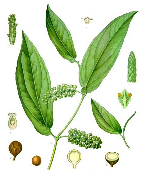 Plant-Illustration-of-Cubeb-pepper