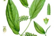 Plant-Illustration-of-Cubeb-pepper