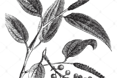Sketch-of-Cubeb-pepper