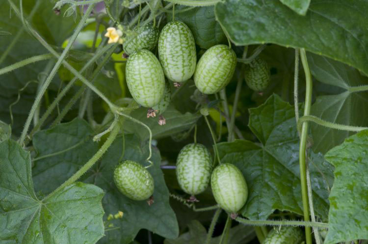 Cucamelon-Fruits-on-the-plant