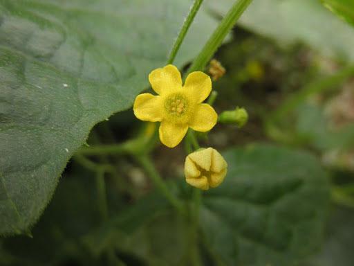 Flower-of-Cucamelon