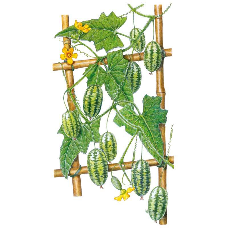 Plant-Illustration-of-Cucamelon