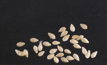 Seeds-of-Cucamelon