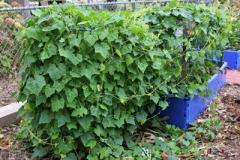 Cucamelon-Plant