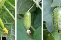 Development-of-Cucamelon