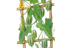 Plant-Illustration-of-Cucamelon