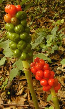 Fruit of-Cuckoo-Pint-plant