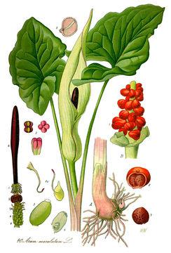 Illustration-of-Cuckoo-Pint-plant