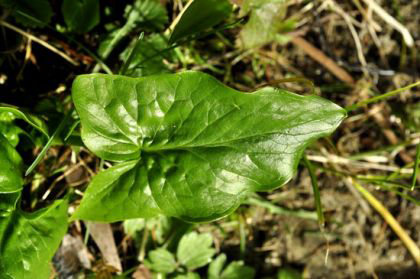 Leaf-of-Cuckoo-Pint-plant
