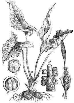 Sketch-of-Cuckoo-Pint-plant