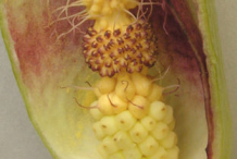 Dissected-Flower-of-Cuckoo-Pint-plant