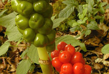 Fruit of-Cuckoo-Pint-plant