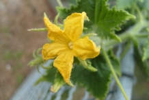 Close-up-flower-of-Cucumber