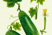 Plant-illustration-of-Cucumber