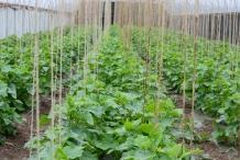 Cucumber-farm