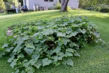 Cucumber-plant