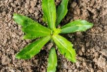 Small-Culantro-plant