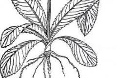 Sketch-of-Culantro