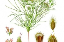 Illustration-of-Cumin-plant
