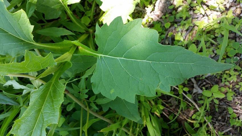 Cup-plant-leaf