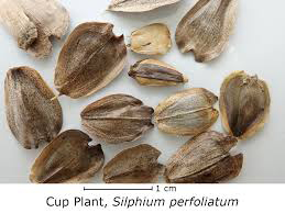 Cup-plant-seeds