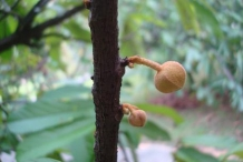 Cupuassu-bulb-Copoasu