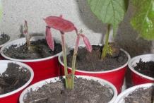 Cupuassu-sprouts-theobroma