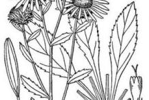 Sketch-of-Curlycup-Gumweed