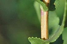 Stem-of-Curlycup-Gumweed