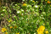 Curlycup-Gumweed-plant-growing-wild