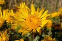 Flower-of-Curlycup-Gumweed