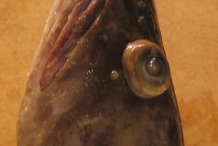 Front-view-of-Cusk-fish