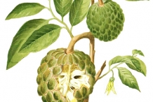Custard-apple-plant-illustration