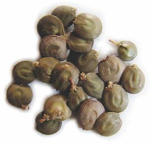 Seeds-of-Cutch-Tree