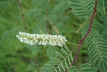 Flower-of-Cutch-Tree
