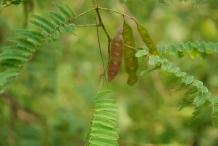 Immature-fruits-of-Cutch-Tree