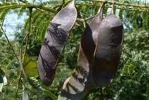 Mature-fruits-of-Cutch-Tree