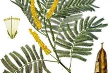 Plant-Illustration-of--Cutch-Tree