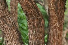 Bark-of-Cutch-Tree