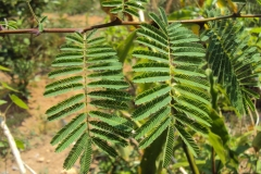 Leaves-of-Cutch-Tree