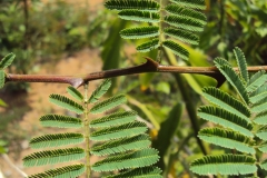 Thorns-of-Cutch-Tree