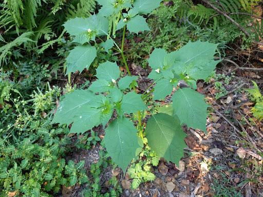 Cutleaf-Ground-Cherry-plant