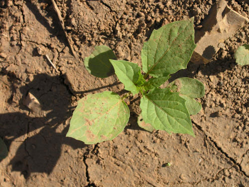 Small-Cutleaf-Ground-Cherry-plant